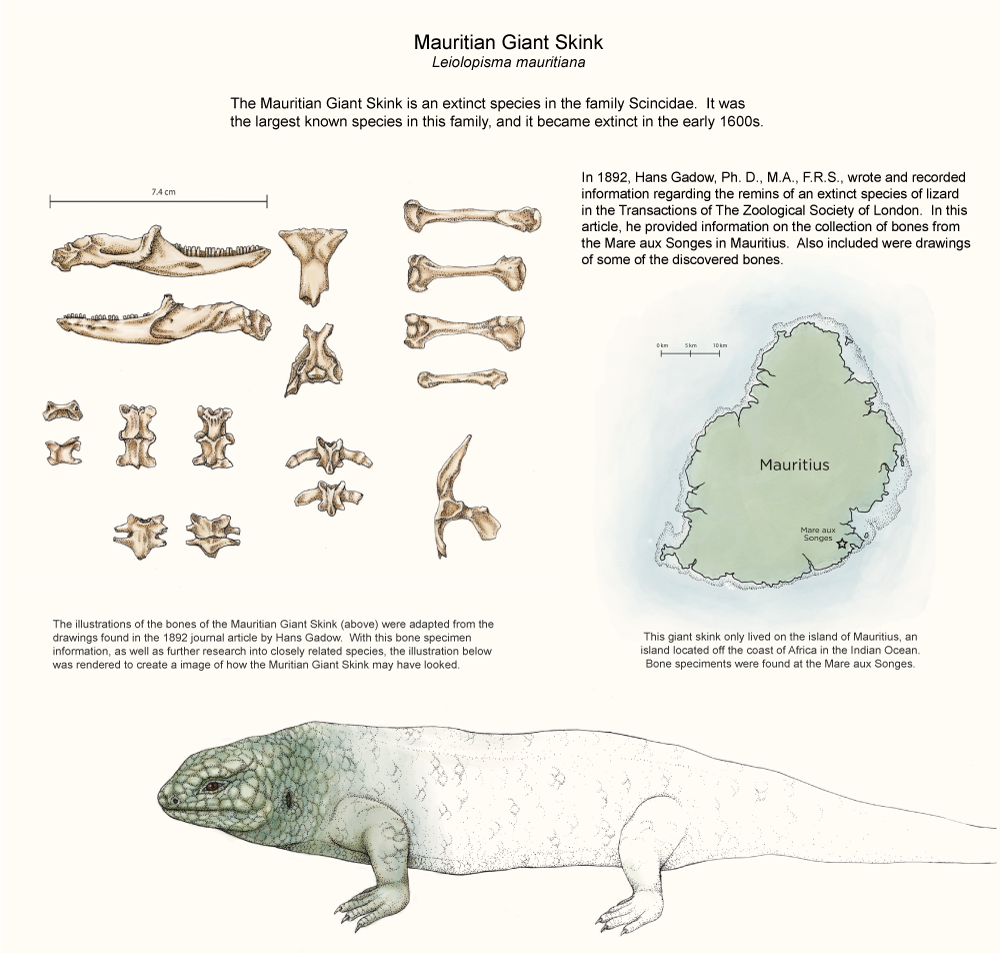 Illustration of extinct Mauritian Giant Skink by Kara Perilli
