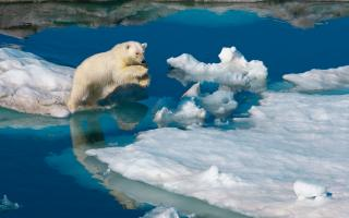 A young polar bear leaps between ice floes.