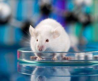 white mouse in petri dish